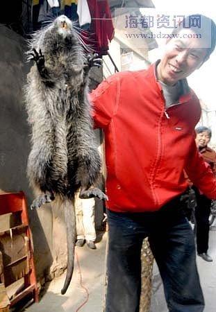 Foto Tikus terbesar